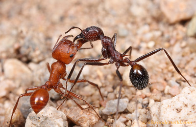 Pogonomyrmex maricopa and Aphaenogaster albisetosa workers, fighting.  Resources are scarce in the desert and competition among ants is fierce, leading to frequent conflicts.  Green Valley, Arizona, USA