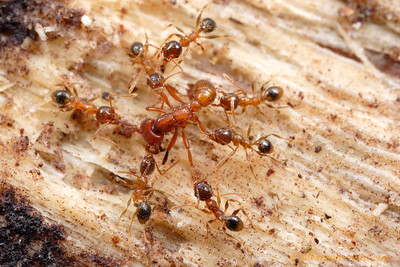 Pheidole megacephala minor workers kill prey by holding it down and pulling it apart.  Here, they attack a driver ant (Dorylus) worker that has strayed too close to their nest.   St. Lucia, KZN, South Africa