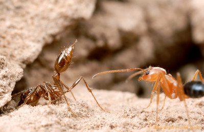 Her nest breached by attacking Forelius nigriventris (at right), a fire ant adopts typical defensive position: stinger raised and exuding a droplet of volatile venom.    Santiago del Estero, Argentina