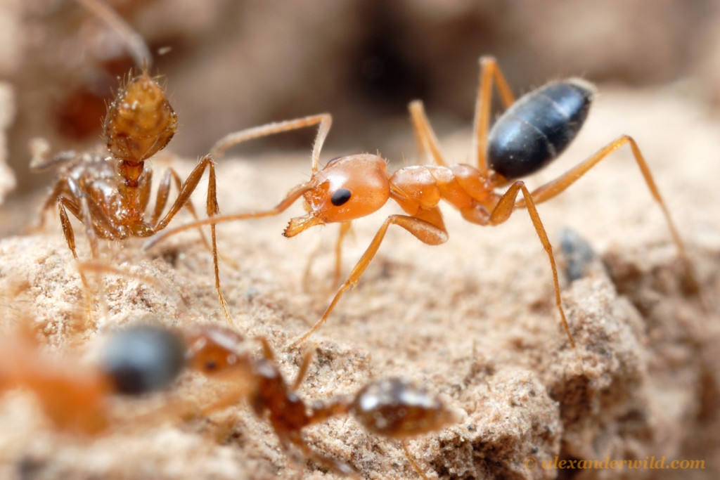 Forelius nigriventris and Solenopsis invicta.  When Forelius gain access to a breach in a fire ant mound, a full-scale ant battle ensues.  Here, a fire ant (at left) flicks a droplet of venom towards the Forelius aggressor.  Santiago del Estero, Argentina