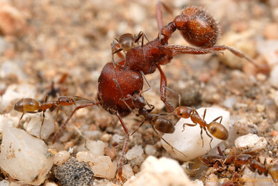 A harvester ant (Pogonomyrmex desertorum) wanders too close to a nest of little Forelius mccooki ants, who harass the intruder until she leaves.   Tucson, Arizona, USA