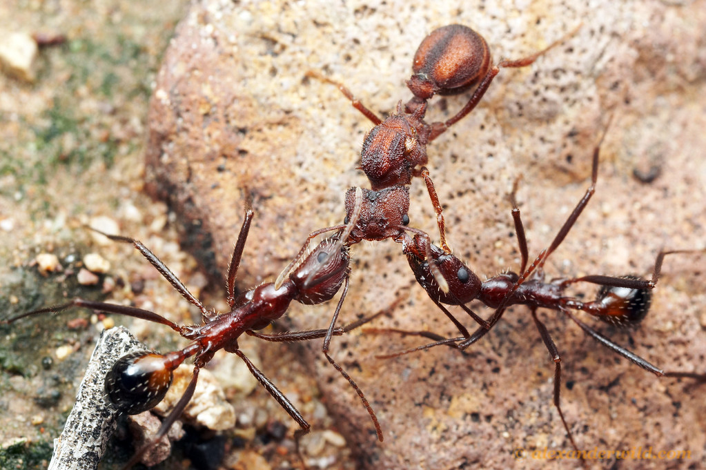 Acromyrmex versicolor & Novomessor cockerelli