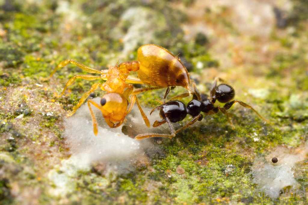 Crematogaster acrobat ants use their stingers in defense, but they don't pierce the integument of their opponents. Rather, the stinger serves as a brush for smearing defensive chemicals on their adversaries. Here, a worker defends a food bait against an intruding Pheidole.  Kibale forest, Uganda