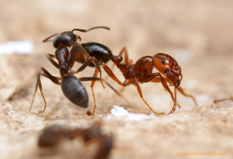 A ancient antagony between two highly competitive ants (Linepithema humile and Solenopsis invicta) from the same river basin in South America plays out again in North America where both have been introduced.  Austin, Texas, USA