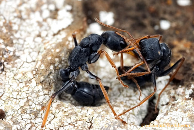 Myrmecia pilosula jack-jumper ants from neighboring nests engaged in battle, grabbing each other with their impressive mandibles and attempting to sting their opponent with the tip of the abdomen.    Tower Hill, Victoria, Australia