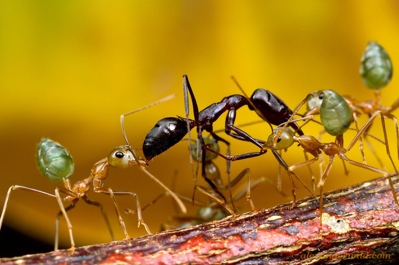 Trap Jaw Ant Queen Have Killed a Trap-jaw Ant