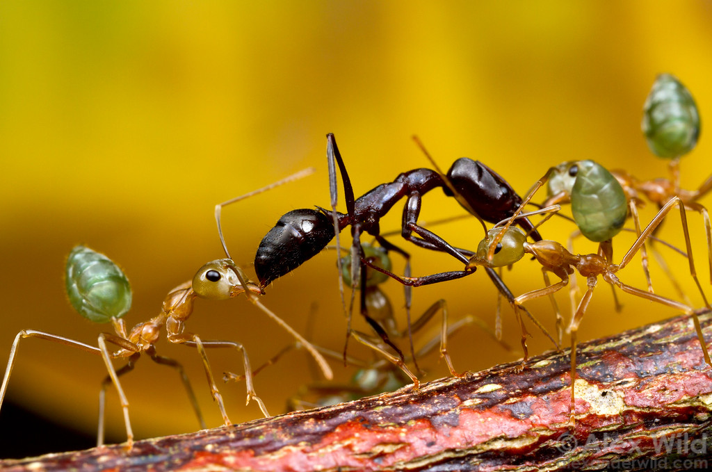 Oecophylla smaragdina weaver ants have killed a trap-jaw ant and are cooperating to carry it up a tree branch to their nest.   Cape Tribulation, Queensland, Australia