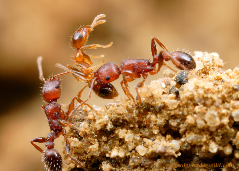 The biggest enemies of ants are usually other ants, as competition for limited food and space is often intense.  Here, two Tetramorium workers have killed a Pheidole from a neighboring nest.St. Lucia, KZN, South Africa