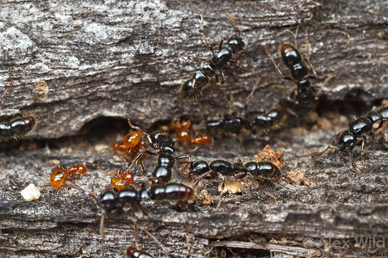 Lioponera larvata
