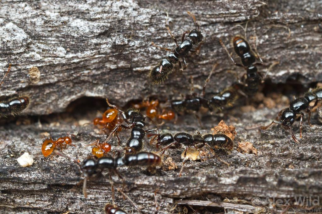 larvatus3-XL.jpg