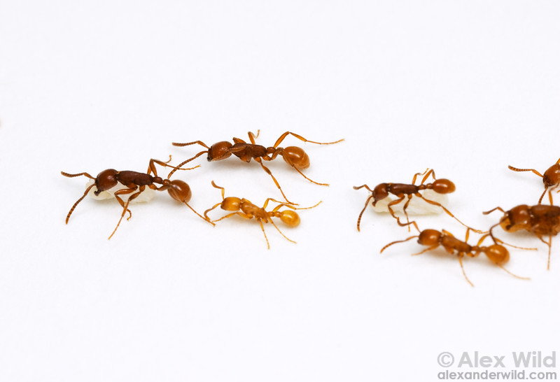 Neivamyrmex opacithorax.  Army ants carrying brood.  Notice how the ants carry their pupae, slung under their bellies in typical army-ant style.   Chiricahua Mountains, Arizona, USA