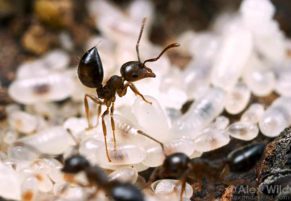 Alarm posture in a Crematogaster emeryana acrobat ant, gaster held high and sting extruded.  Crematogaster ants do not actually use their stinger to sting; rather, the organ is instead employed as a brush to broadcast volatile chemical signals to nestmates and to smear defensive chemicals on attackers.  Chiricahua Mountains, Arizona, USA