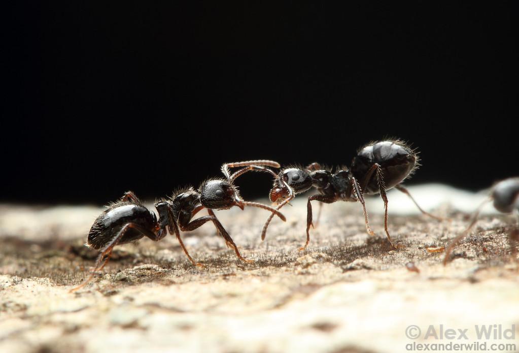 Friend or Foe? Dolichoderus inpai workers meet along a trail.  Jatun Sacha reserve, Napo, Ecuador