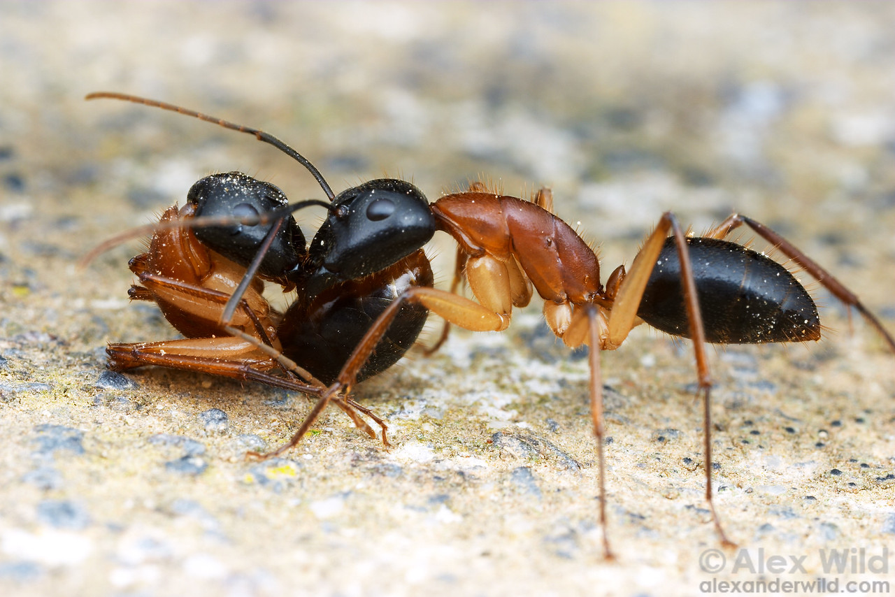 Nestmate transport in Camponotus nigriceps sugar ants. It is thought that ant colonies conserve energy by having one worker do the walking for two.   Yandoit, Victoria, Australia.