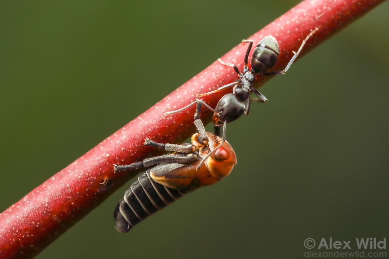 Mottled-head Gum-leafhopper - Eurymeloides punctata - with Iridomyrmex rufoniger