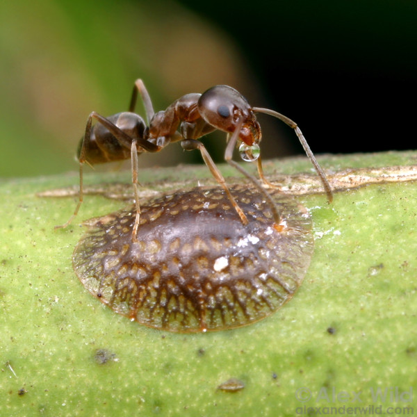Linepithema humile, the Argentine ant, tending a citrus scale insect for honeydew.  