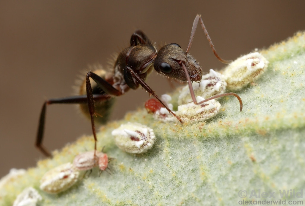 Camponotus rosariensis ant tending scale insects for honeydew.  Notice that the younger scale insects have legs.  These first instar scale are more mobile than the older instars, which settle down once they find a good spot for feeding.