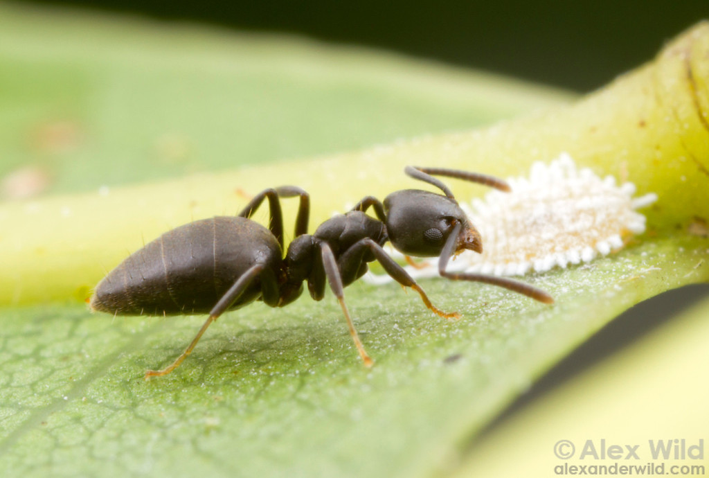 Technomyrmex albipes - white-footed ant tending to a mealybug (Pseudococcidae) for honeydew. 