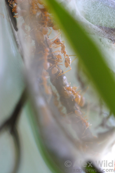 Protected inside a translucent silken tent, Oecophylla longinoda weaver ants gather honeydew from mealybugs. The ants weave the tent using silk produced by their larvae.