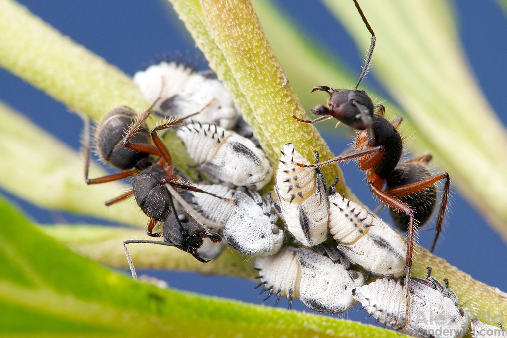 Camponotus rufipes worker ants tending treehopper nymphs for honeydew.