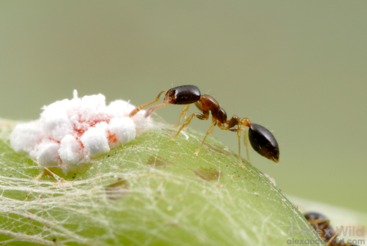 Monomorium floricola ranks among the most traveled of all ants.  This diminutive species has spread with human commerce to nearly every lowland tropical region.  Here, a worker tends to a mealybug in Panama.