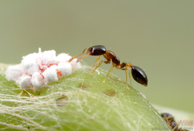 Monomorium floricola ranks among the most traveled of all ants.  This diminutive species has spread with human commerce to nearly every lowland tropical region.  Here, a worker tends to a mealybug in Panama.  Isla Contadora, Panama