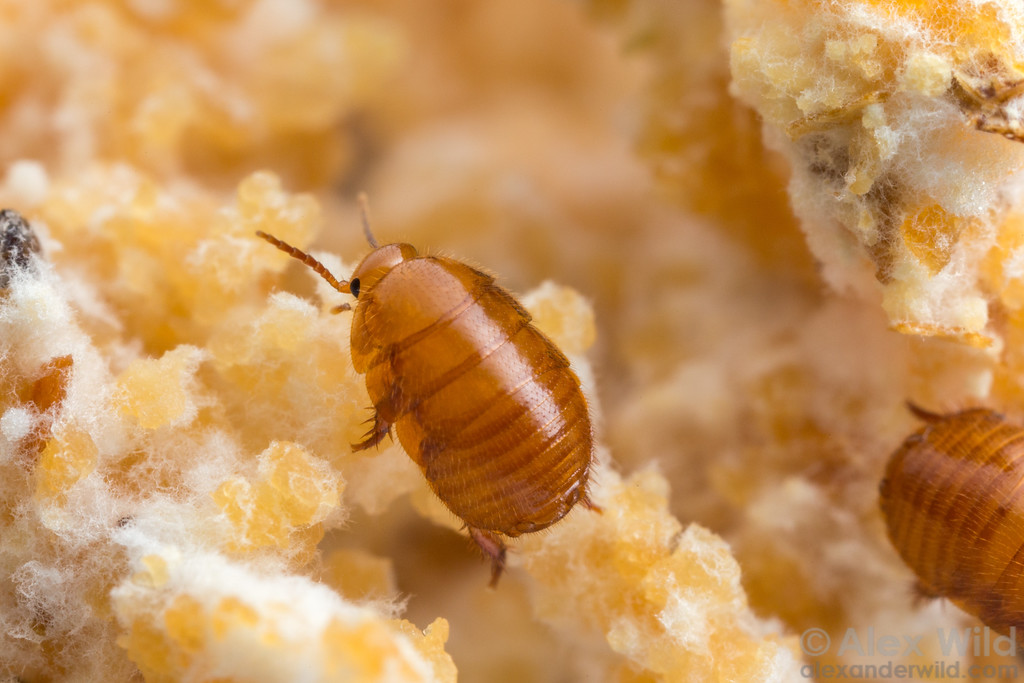 Attaphila4-XL.jpg