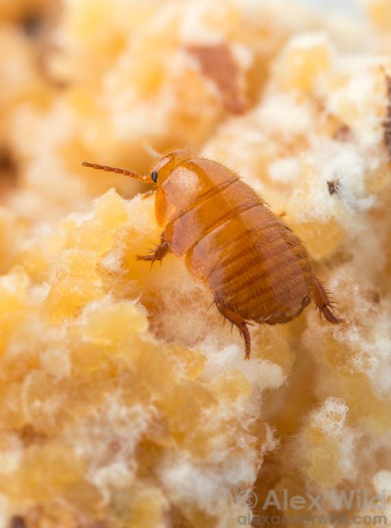 Attaphila fungicola