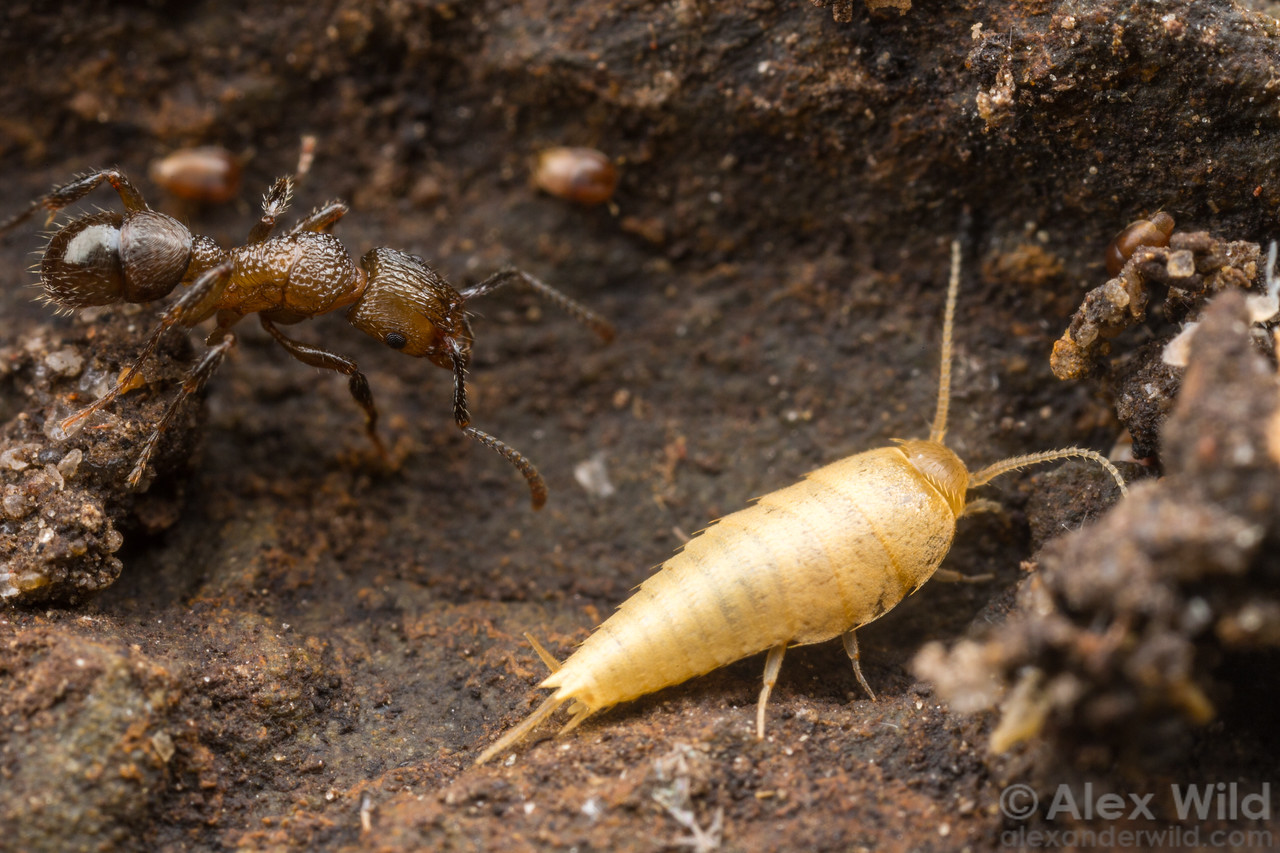 Nicoletiid ant-nest silverfish