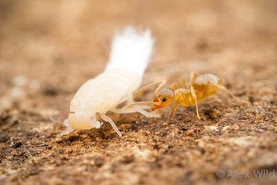 Cixiidae nymph in ant nest