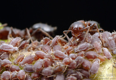 Crematogaster cerasi tending ivy aphids for honeydew.  South Bristol, New York, USA
