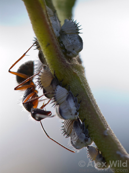 A Camponotus rufipes worker tends treehopper nymphs for honeydew.