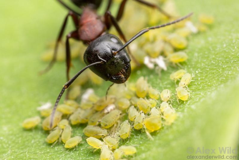 Camponotus noveboracensis