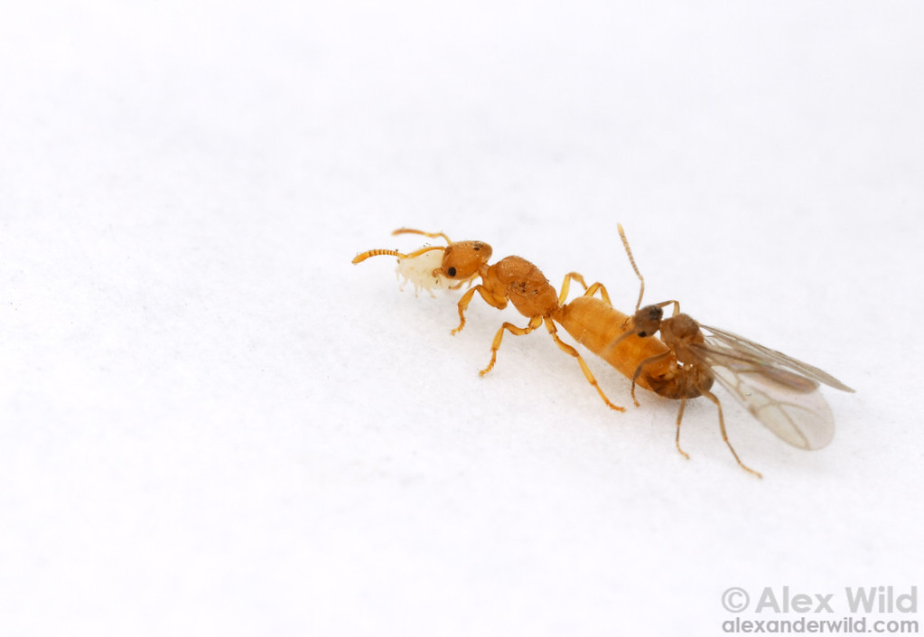 Mating Acropyga epedana ants, the queen carrying a mealybug in her mandibles.  Acropyga live nearly entirely by consuming secretions of root-feeding mealybugs, and the mealybugs depend on the ants for dispersal and protection.  When young queen ants leave the nest to mate and start new colonies, they take a mealybug with them.  Portal, Arizona, USA