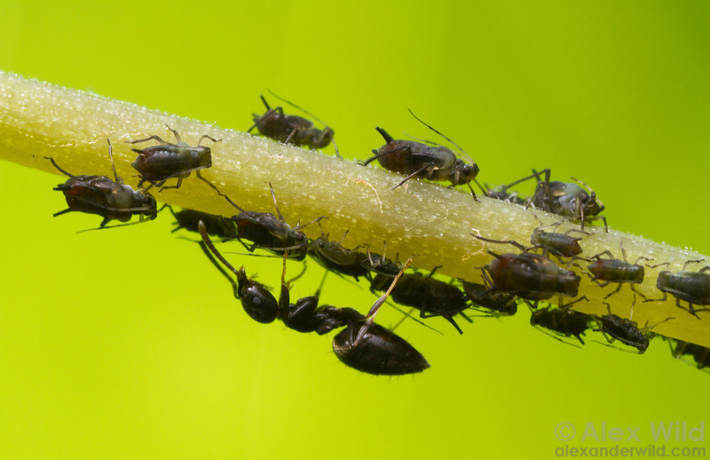 A worker ant (Technomyrmex difficilis) tending aphids.