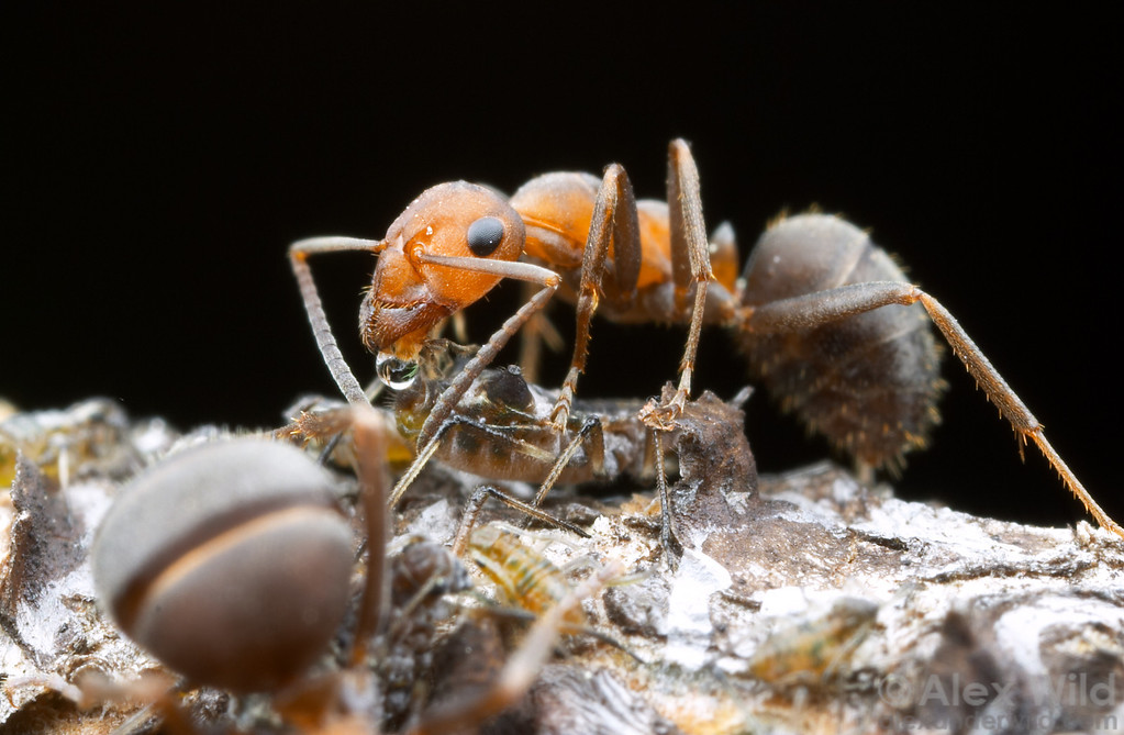 Formica integroides worker tending pine aphids.  The ants obtain a large portion of their energy from symbiotic relationships with hemipterans such as these aphids.  Sagehen Creek, California, USA