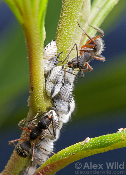 Camponotus rufipes