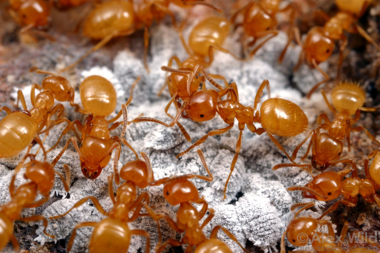 "Lasius (Acanthomyops) californicus citronella ants with their underground ""cattle"": mealybugs that produce honeydew.  