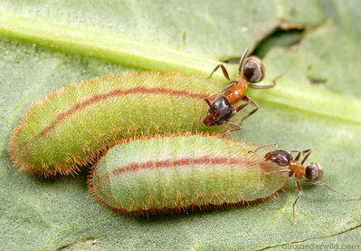http://www.alexanderwild.com/Ants/Natural-History/Insect-Symbionts/occidentale3/638908572_LFybK-S.jpg