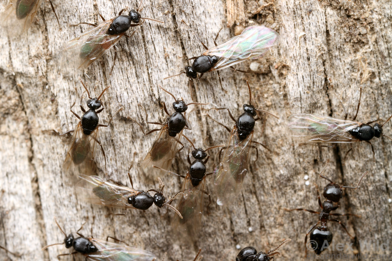 Crematogaster cerasi males emerge from the nest for a mating flight.  Urbana, Illinois, USA