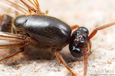 Neivamyrmex harrisi.  Close-up of a male army ant.  Pima County, Arizona, USA
