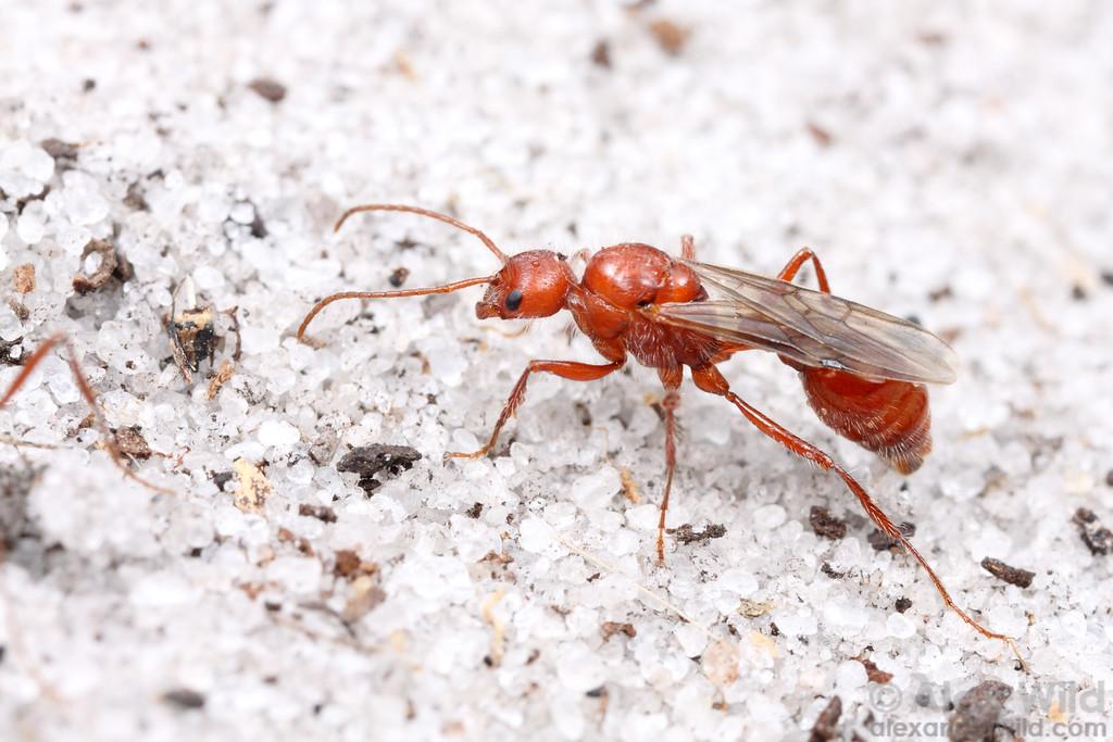 A male Pogonomyrmex badius, the Florida harvester ant.  Archbold Biological Station, Florida, USA