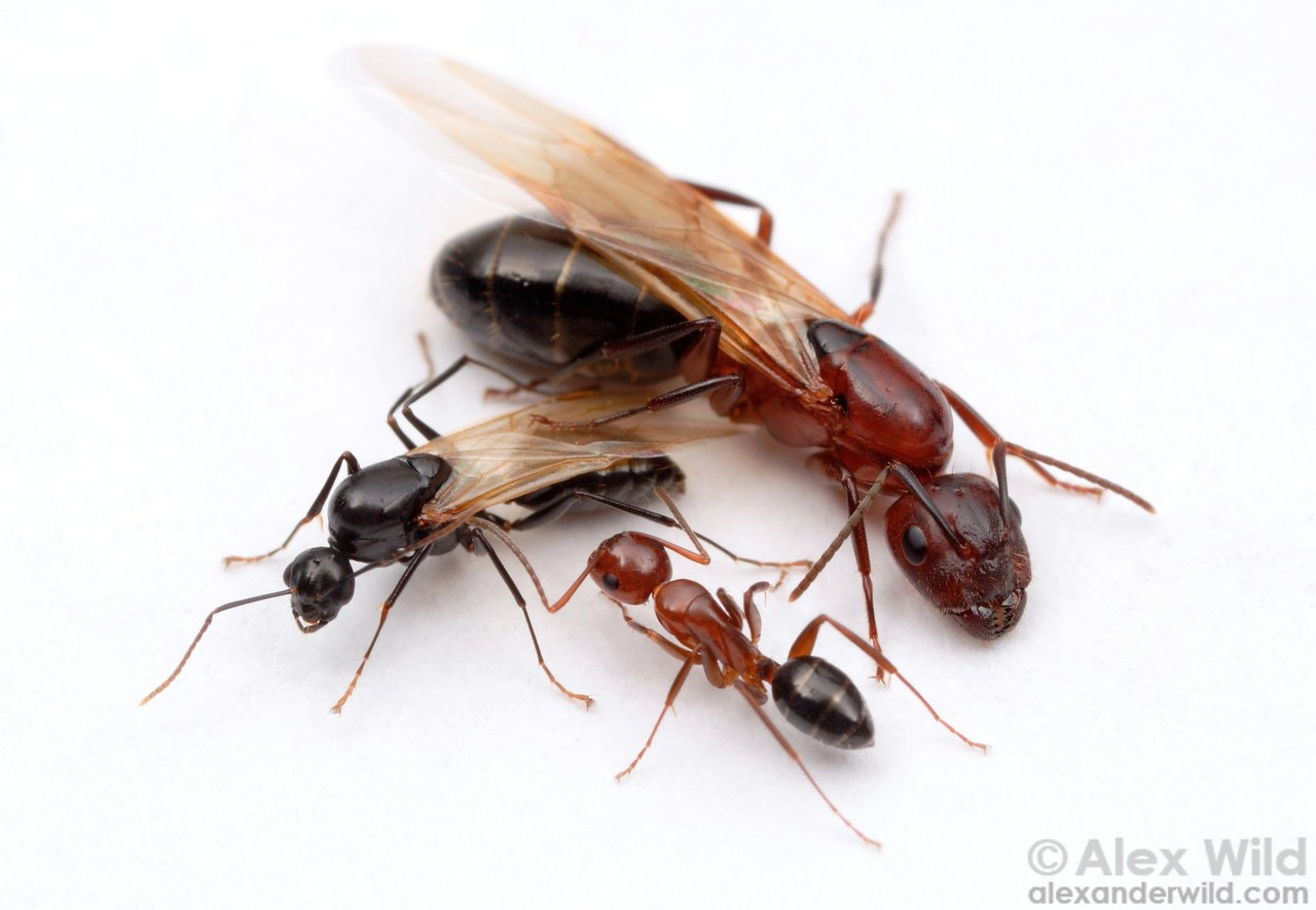 Caste in the carpenter ant Camponotus discolor: male (left), queen (right), worker (bottom).  Louisiana, USA