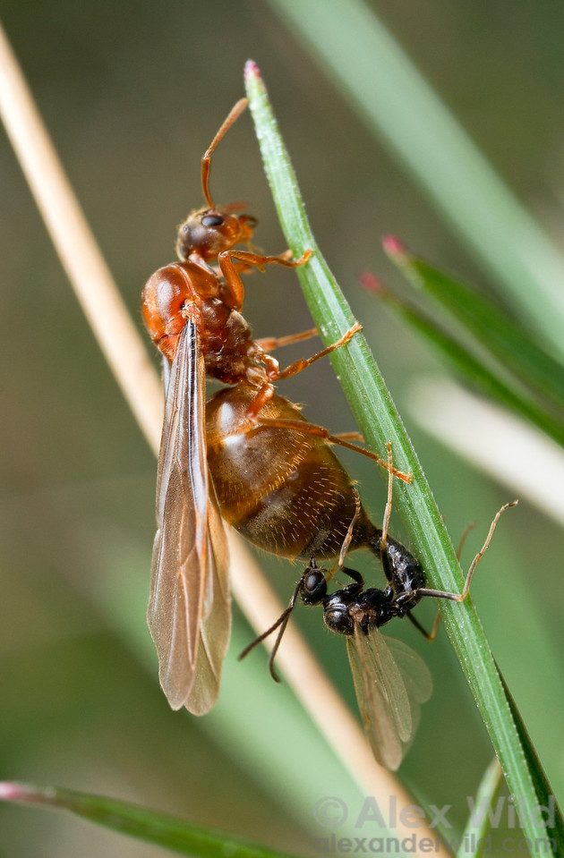 Prenolepis imparis is the first ant to hold mating flights every year in temperate North America. Alates wait out the winter and emerge on the first warm spring days. This photo was taken in early March.  Urbana, Illinois, USA