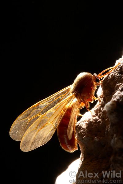 Male Ants