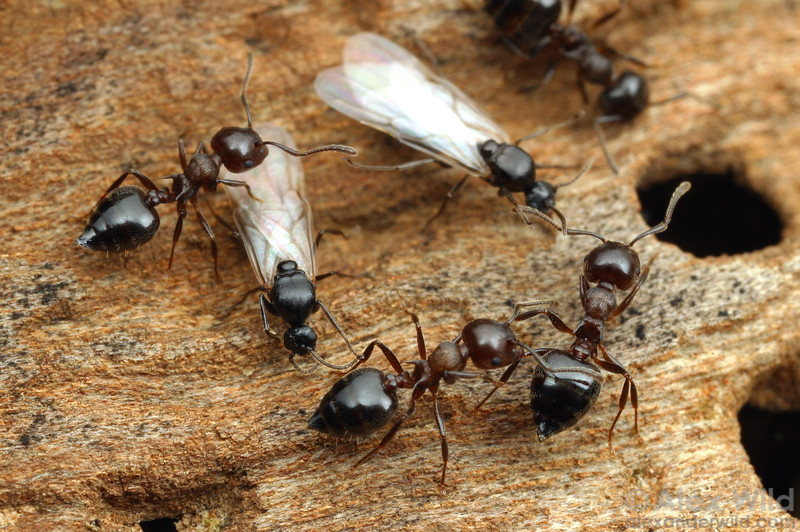 Worker and male ants in a nest of Crematogaster cerasi.  South Bristol, New York, USA