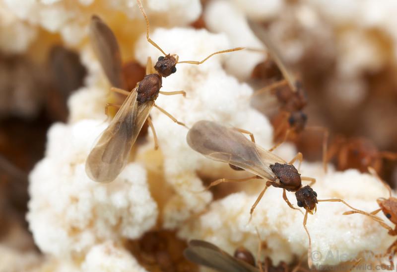 Male ants in the fungus garden of a Cyphomyrmex wheeleri colony.   Austin, Texas, USA
