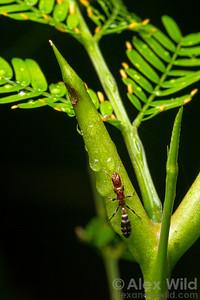 Pseudomyrmex peperi