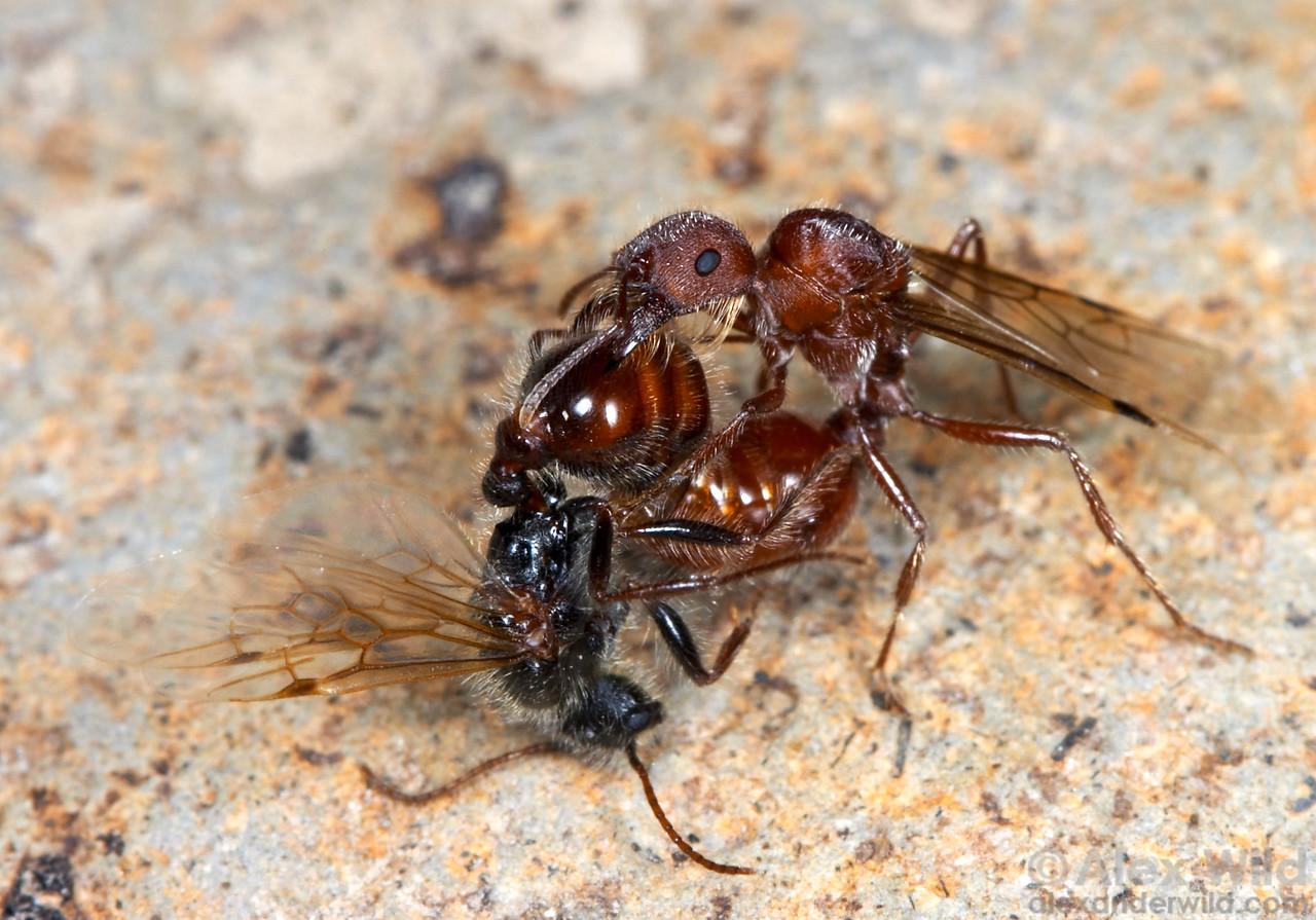 Pogonomyrmex occidentalis, the western harvester ants, mating  Hallelujah Junction, California, USA