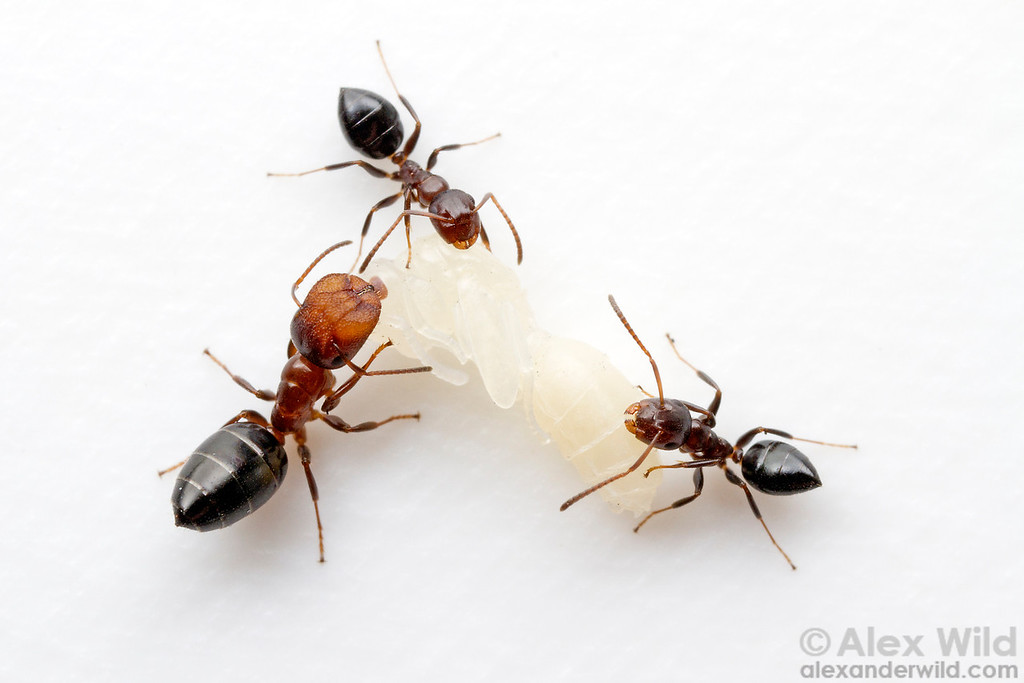 Camponotus (Colobopsis) impressus with a pupa. Note the differences in size and shape between major and minor workers.  Laboratory colony at the University of Central Florida, USA